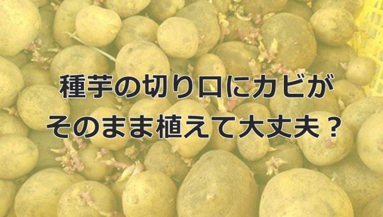 じゃがいも種芋の切り口にカビが生えても育つ?腐ることはない?