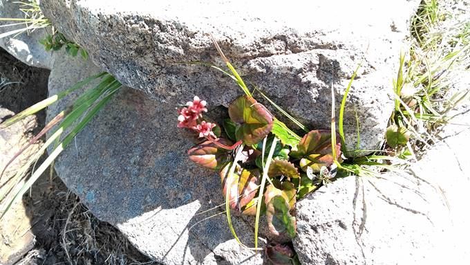 横手山登山道の花