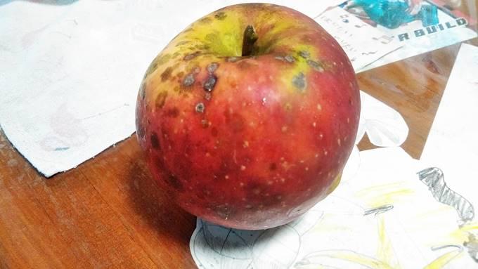 無農薬で栽培したりんご(つがる)