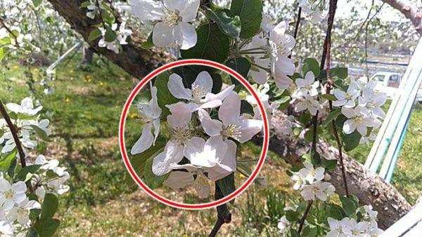 りんごの摘花