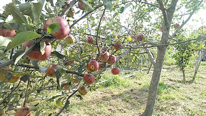 無農薬栽培のりんご