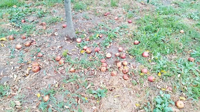 落ちたリンゴ(つがる)