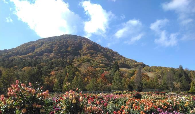 やまびこの丘公園のダリアと高社山の紅葉