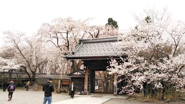 中野市谷厳寺のしだれ桜