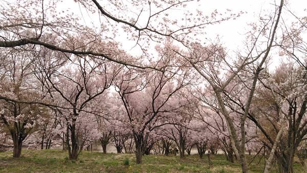 中野市谷厳寺の桜