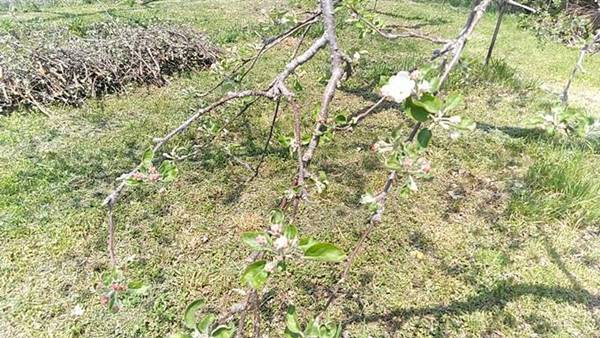 りんごの花4月30日
