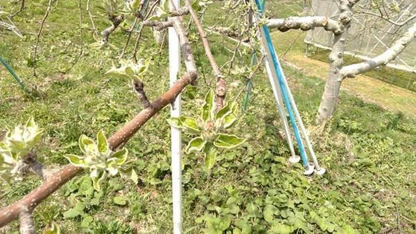 りんご畑4月23日