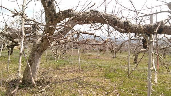 りんご畑4月7日