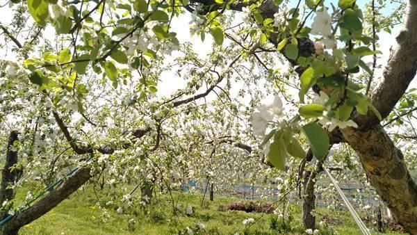 りんごの花5月5日