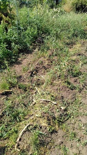 トウモロコシの栽培跡地