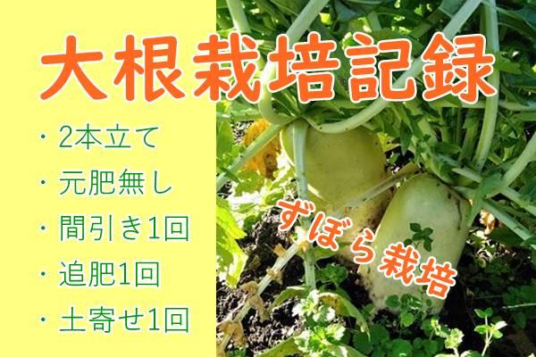 【大根栽培記録】元肥無しで2本立て。追肥は1回のみで立派に育ちました!