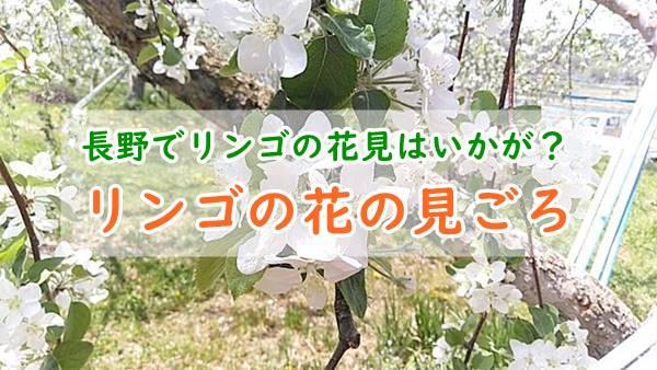 りんごの花の時期はいつ?長野では見頃にりんごの花摘み体験もできる!